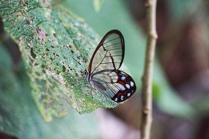 mariposa-transparencia-4